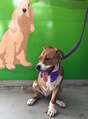 dog with three legs wearing purple bow tie